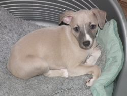 whippet%20pup%20no%C3%ABl%203.jpg